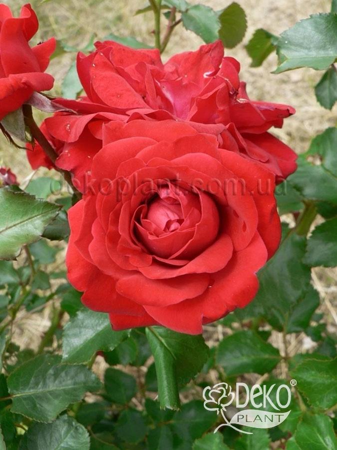 Купить саженец розы grandhotel цветы на 23февраля