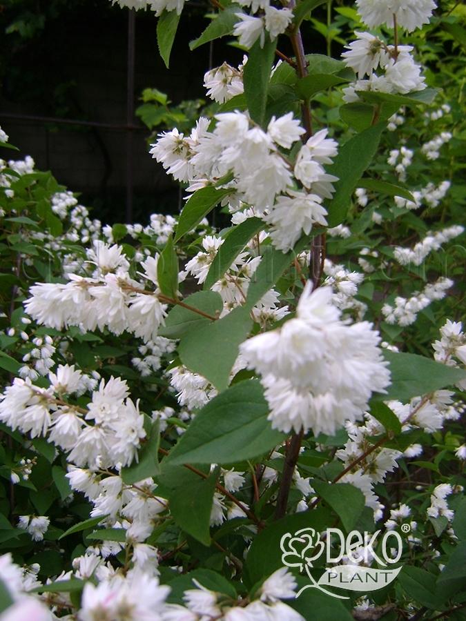 белый кустарник цветущий летом