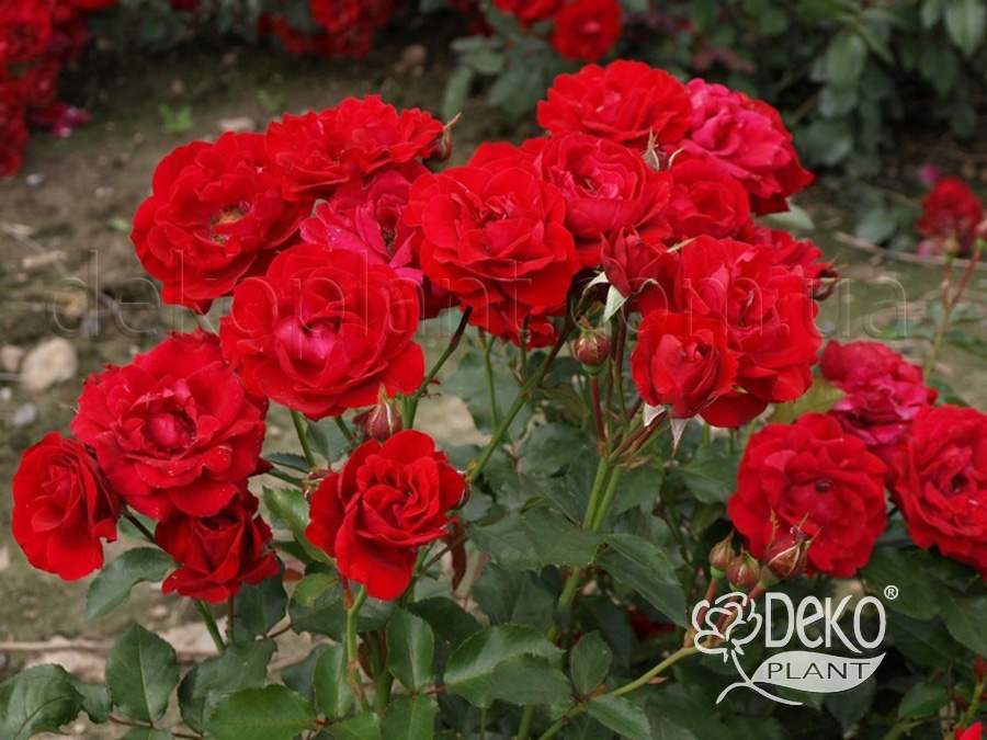 нина вейбул фото и описание розы