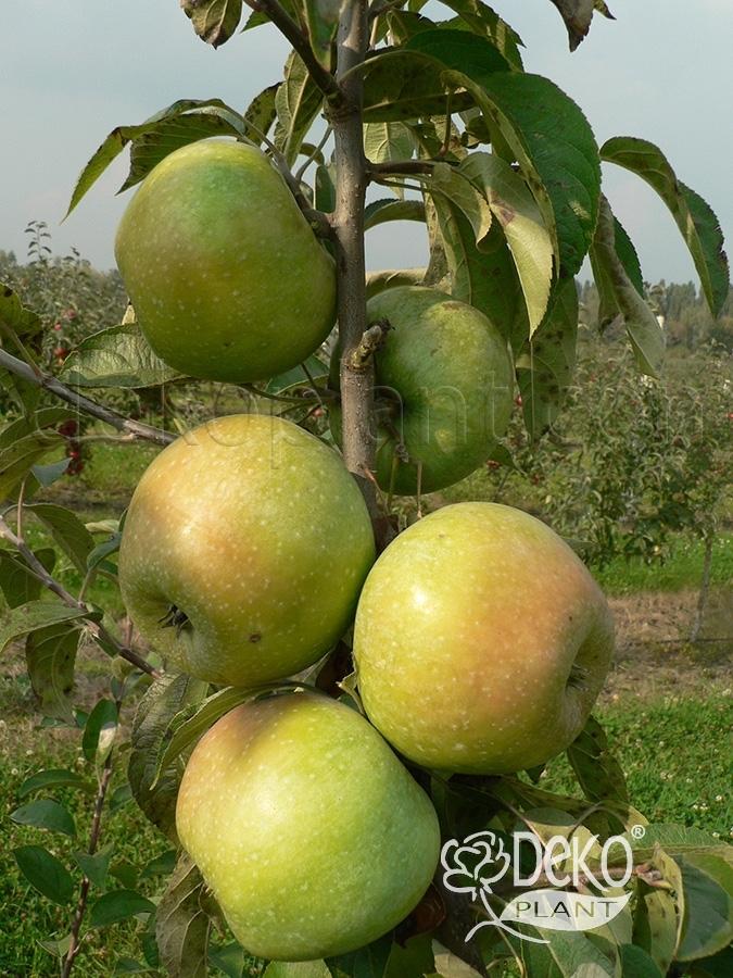 Семеренко сорт яблок описание фото