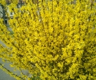 Цветущий кустарник Forsythia Intermedia (Форзиция Среднерослая)