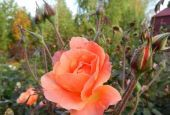 Роза Westerland (Вестерланд)