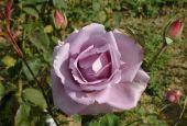Роза Blue Moon Climbing (Блю Мун Плетистая)