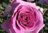 Роза Violette Parfume Climbing (Плетистая Виолет Парфюм)