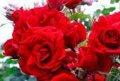 Роза Amadeus (Амадеус)
