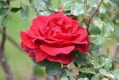 Роза Don Juan (Дон Жуан)