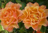 Роза Polka (Полька)